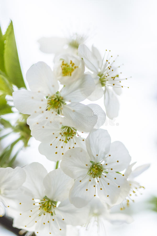 White Spring Cherry flowers stock image