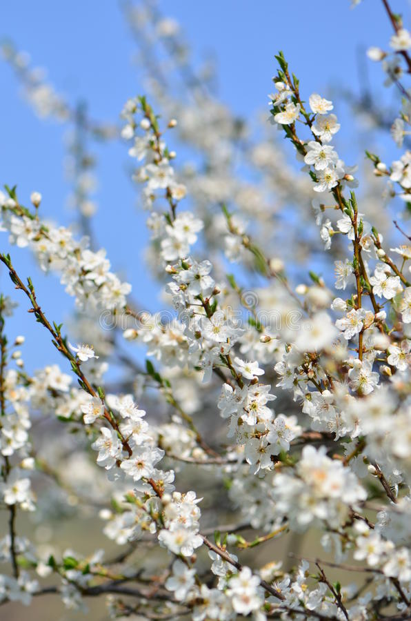 Download White Spring Cherry Tree Flowers In Bloom Stock Photo - Image: 19352042