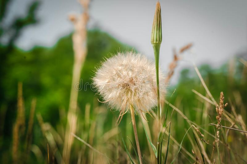 White spring dandelion on a green lawn. The sun is already setting. Spring. A white flower, like a huge dandelion, grows among a green lawn covered with green royalty free stock photo