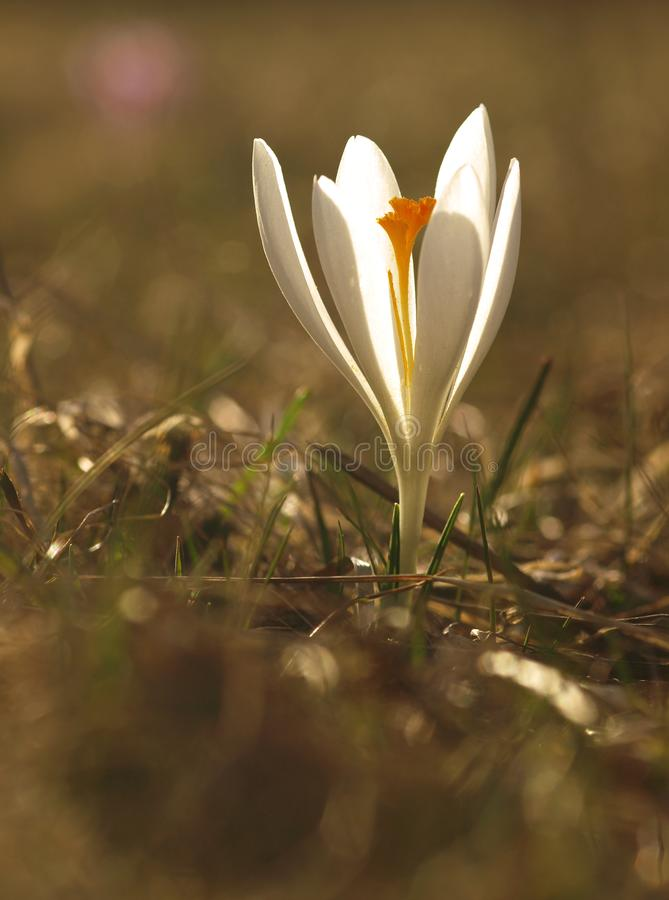 White spring flower with green leaves and stem and sun reflections in the meadow. Blooming crocus in a home garden. royalty free stock photo