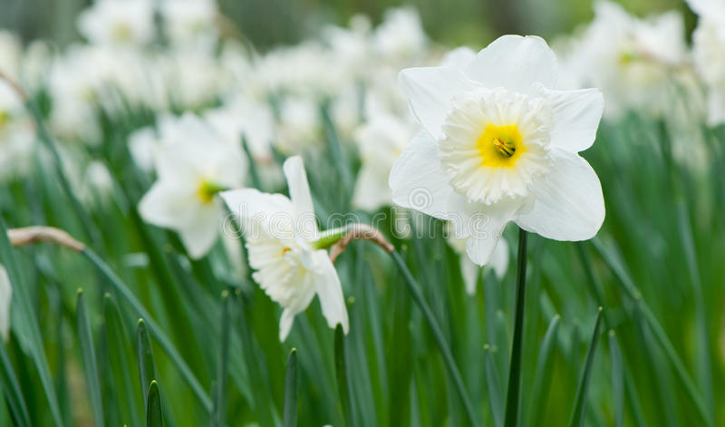 White spring flower Narcissus royalty free stock images