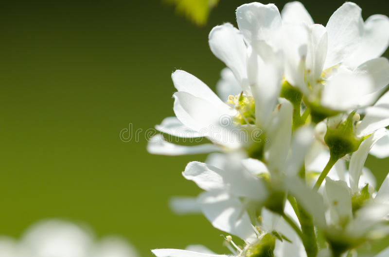 White spring flowers. Blooming tree stock images