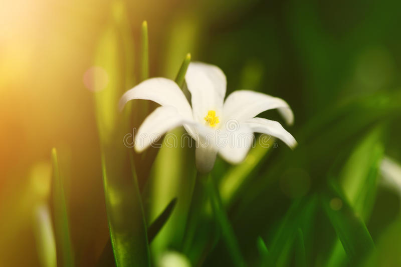 White spring flowers Chionodoxa in the garden with sun rays, soft focus. White spring flowers Chionodoxa blooming in the garden with sun rays soft focus royalty free stock image