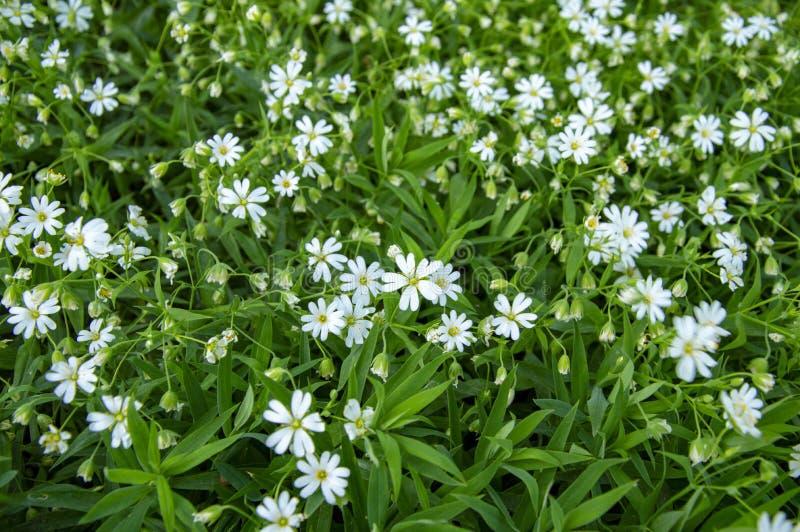 White spring flowers in the garden. White spring flowers garden green royalty free stock photos