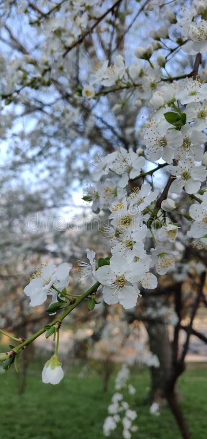 White Spring Flowers in Park. A picture of white flowers blooming in the spring in a tree in the Cismigiu park in Bucharest royalty free stock photos
