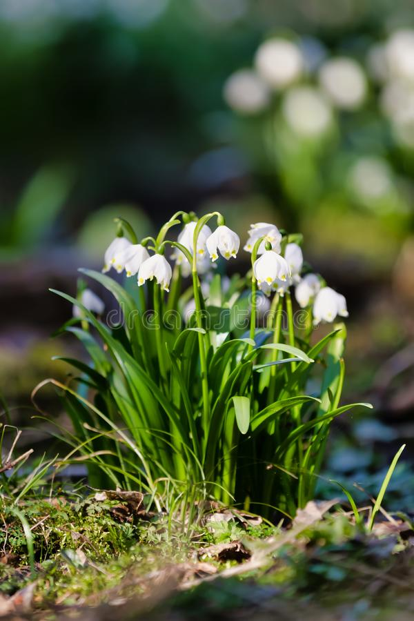 White spring flowers snowflake Leucojum stock photos