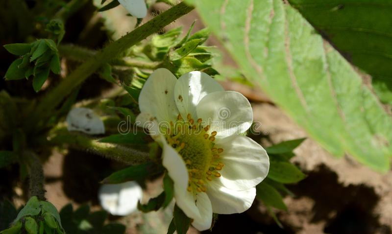 White spring flwers of strawberry. royalty free stock images