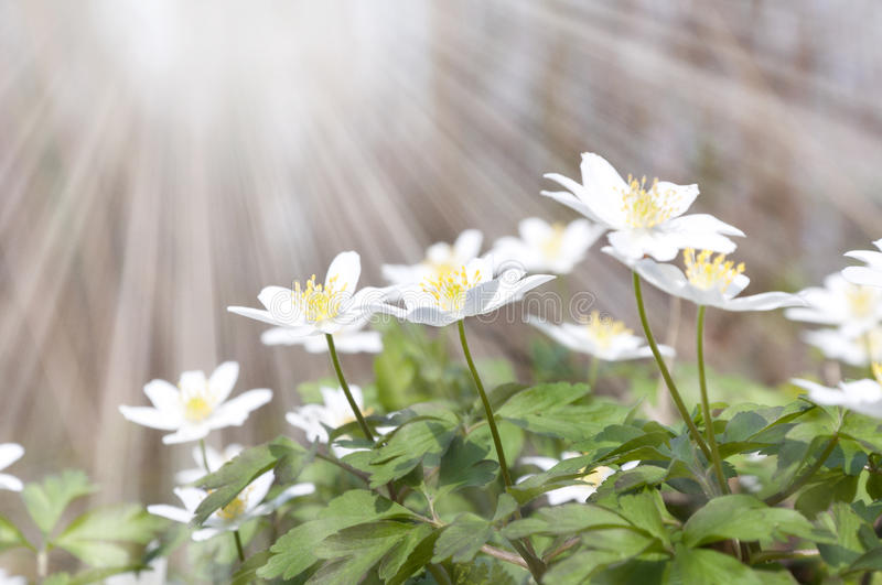 White spring flowers and sun rays. Glade with white spring flowers and sun rays stock photos