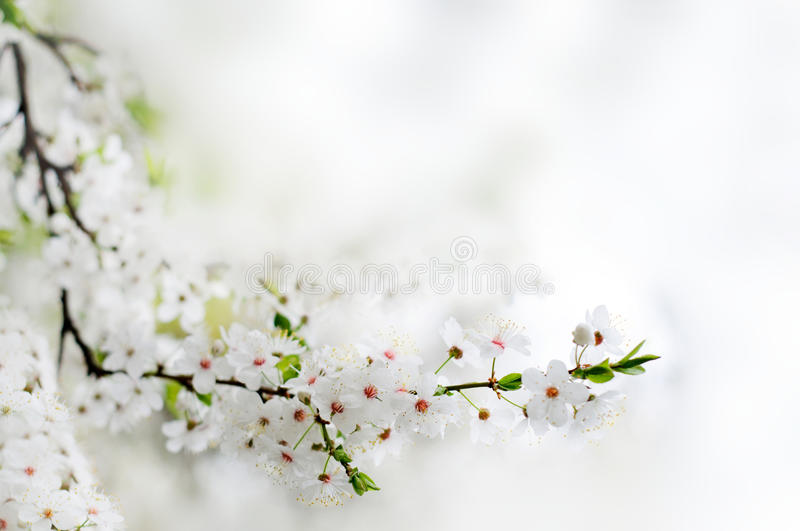 White spring flowers on a tree branch royalty free stock photos