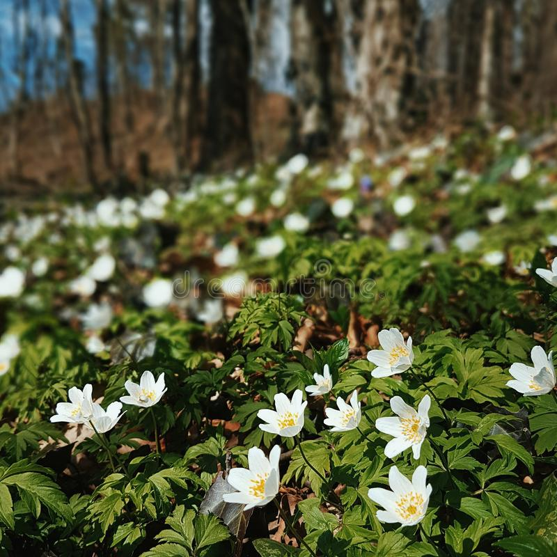 White spring flowers in the woods stock photos