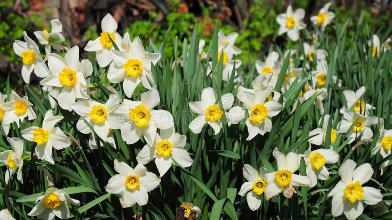White spring garden narcissus flowers with red tulips springtime flower bed. Narcissus flower also known as daffodil, daffadowndil stock images