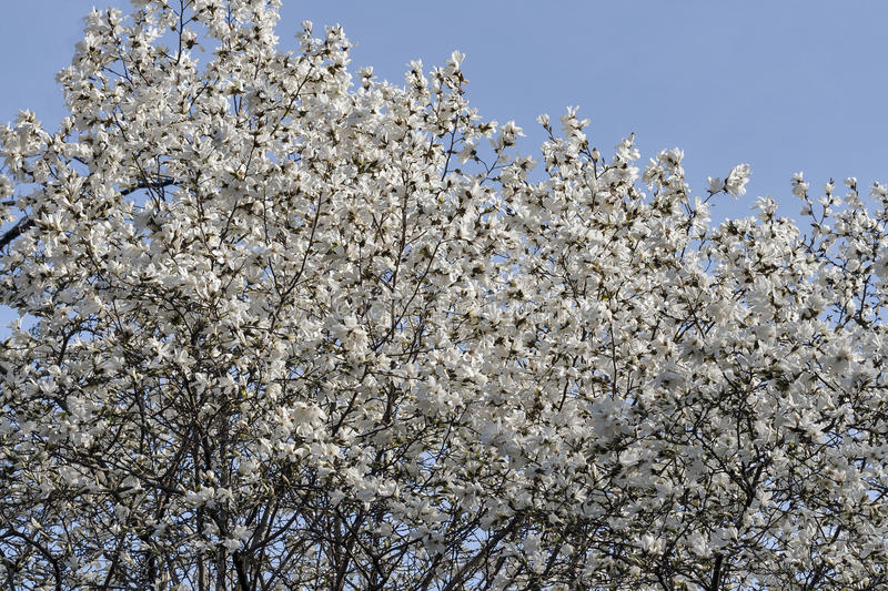White spring magnolia tree branches with blooming flowers and buds royalty free stock photos
