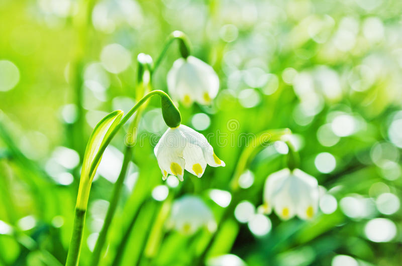 White Spring snowdrops royalty free stock images