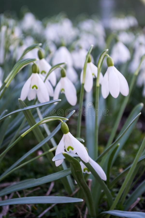 White spring snowdrops. Snowdrops field. Galanthus nivalis. Snowdrop spring flowers. Spring flower snowdrop is the first flower in the end of winter and the royalty free stock photo