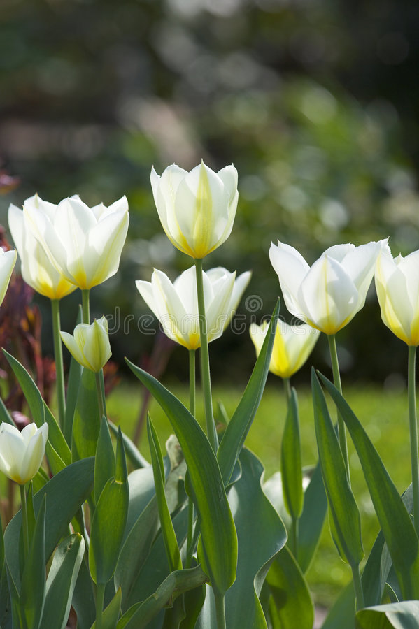White spring tulip stock photography