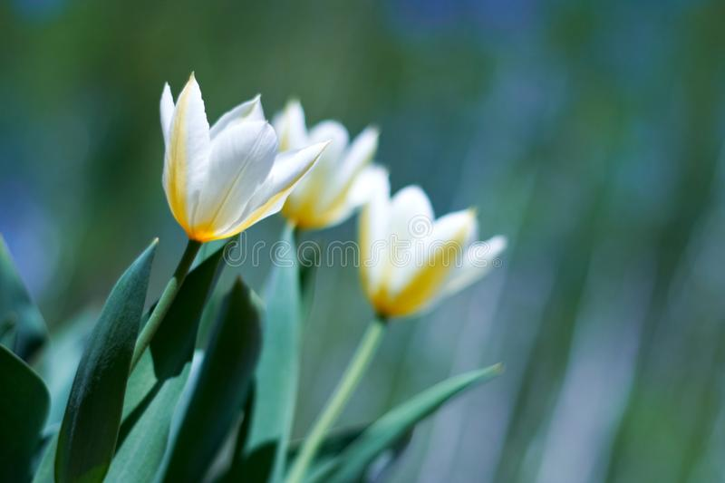 Download White spring a young tulip stock photo. Image of bright - 14220590