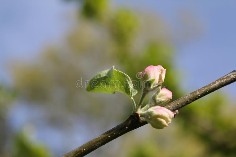 Sprouted apple blossom in spring season. White sprouted apple blossom in spring season stock images