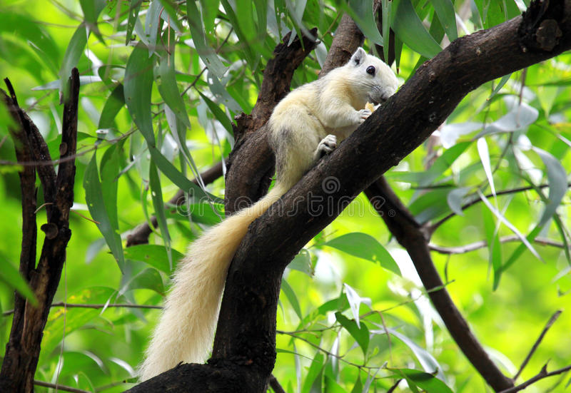 Download White Squirrel Eating Snack On Tree Stock Illustration - Image: 27061366
