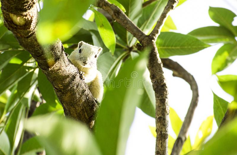 White squirrel is hanging on tree. White squirrel is hanging on branch of a tree in garden with morning light stock images