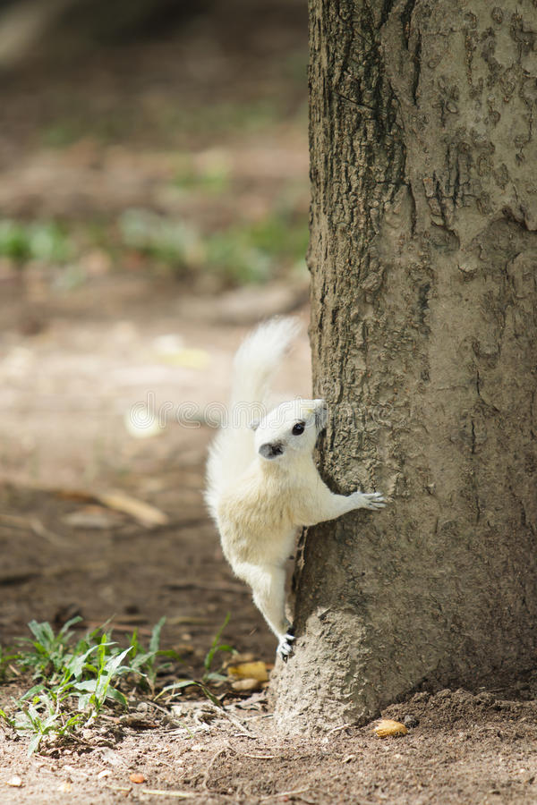 Download White Squirrel Stock Photography - Image: 33219102