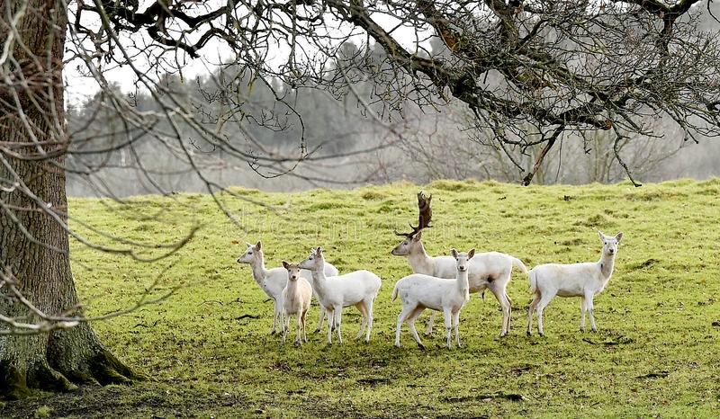 White Stag with his white deer stand watching stock photography