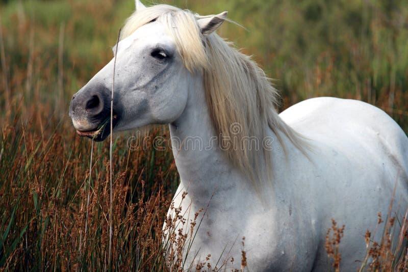White stallion stock image