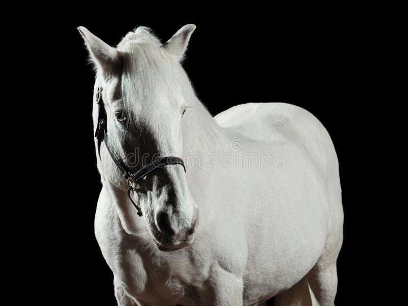 White stallion. Portrait of a white horse, isolated on black background stock images