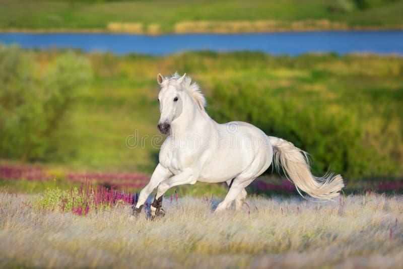 White stallion run forward stock images