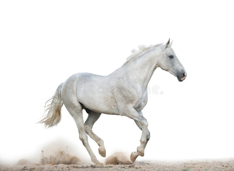 White stallion running gallop royalty free stock image