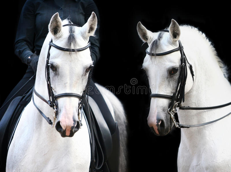 Download White stallions stock image. Image of card, horseman - 11251909