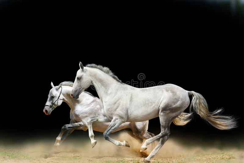 White stallions isolated stock photography