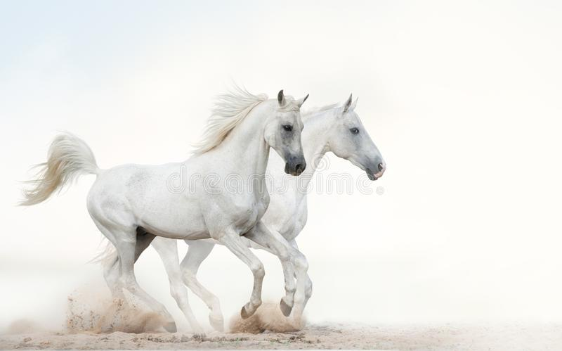 White stallions running gallop stock image