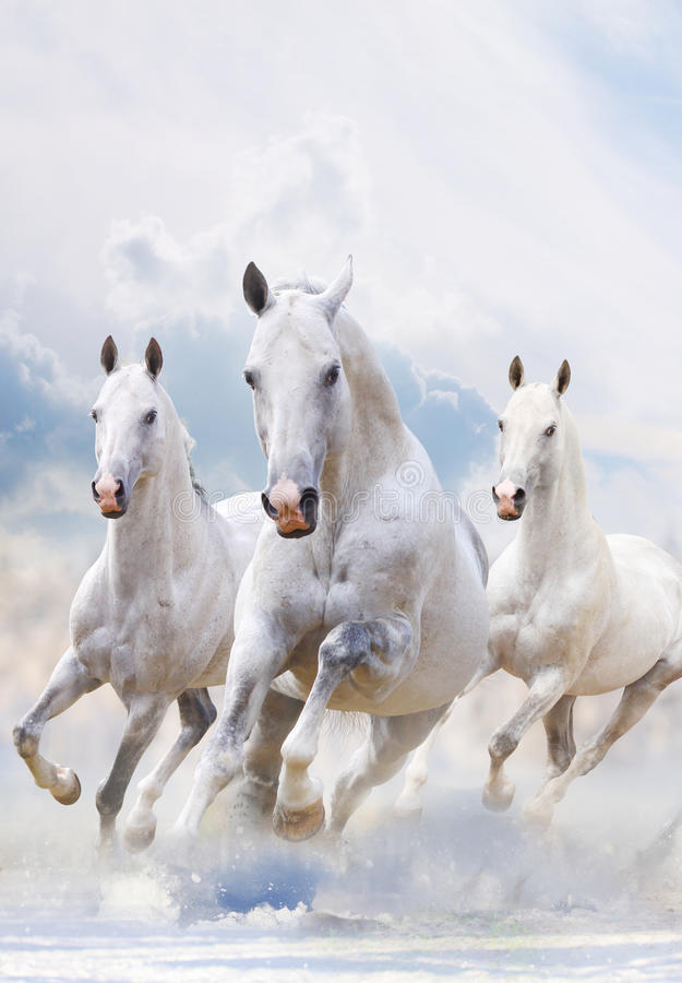 White stallions in snow royalty free stock photo