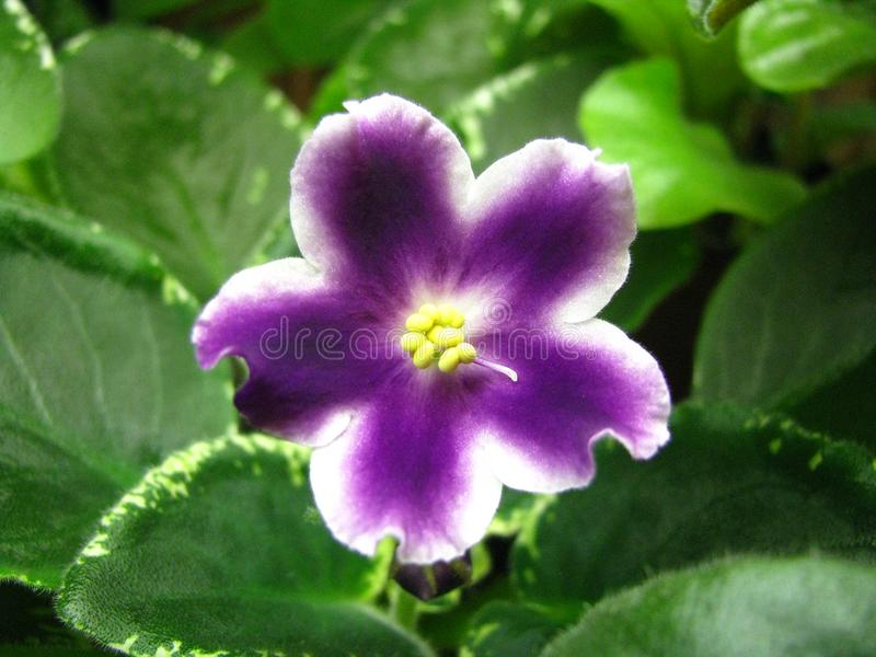 White star flower with wavy edges and purple rays from the center on download white star flower with wavy edges and purple rays from the center on green backgroundnd mightylinksfo