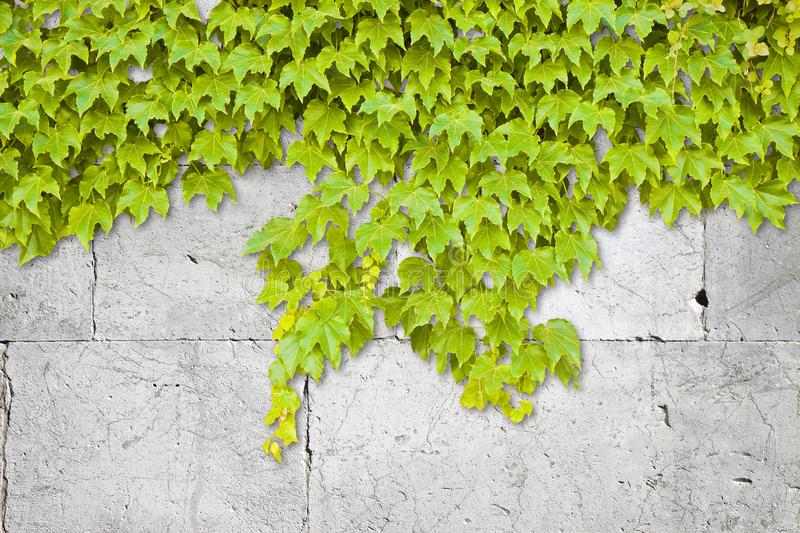 White stone wall covered in green ivy - image with copy space stock photography