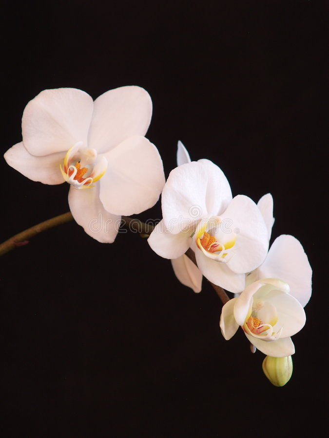 white storczykowy zdjęcia stock