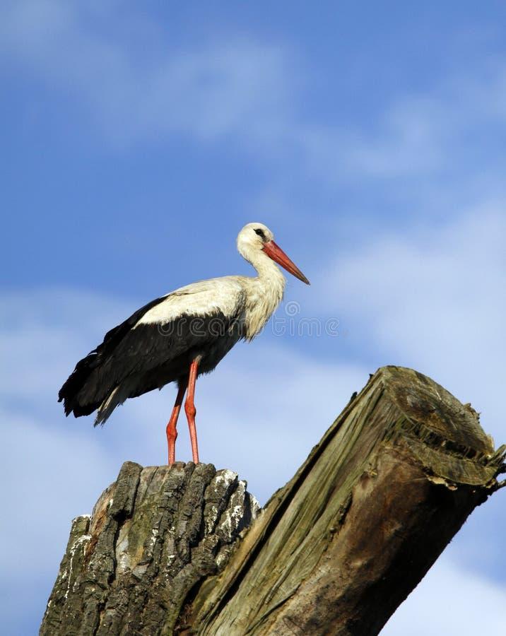 Download White stork stock photo. Image of twigs, plant, bird - 14856294