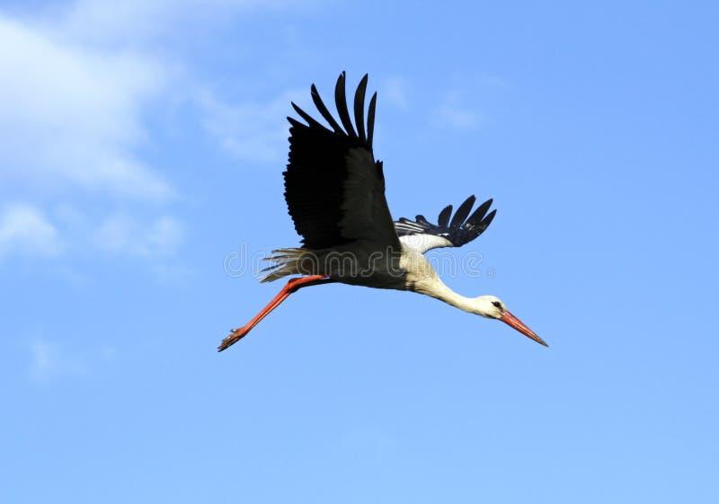 Download White stork stock photo. Image of life, wildlife, wild - 14856332