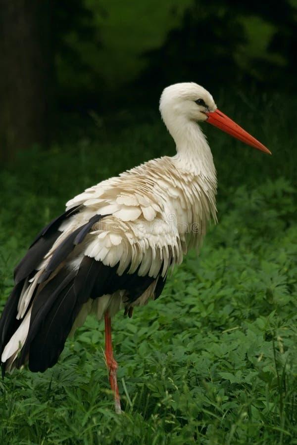 White Stork. Ciconia ciconia, white bird royalty free stock photo