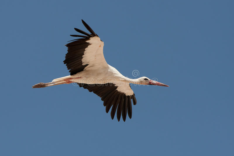 Download White stork stock photo. Image of wall, biology, background - 17452244
