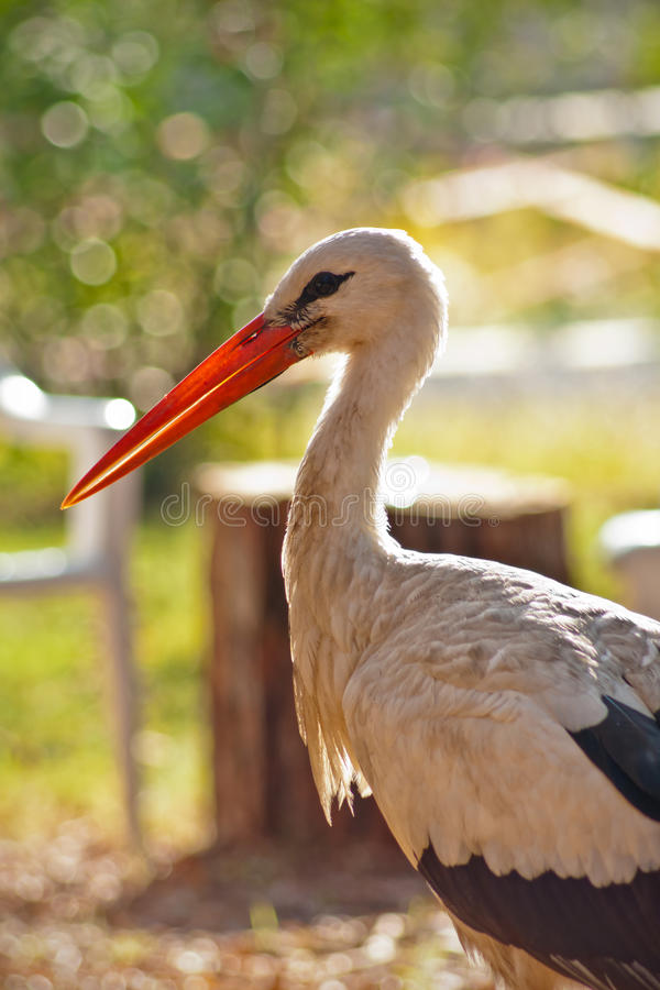 Download White Stork Royalty Free Stock Images - Image: 22279019