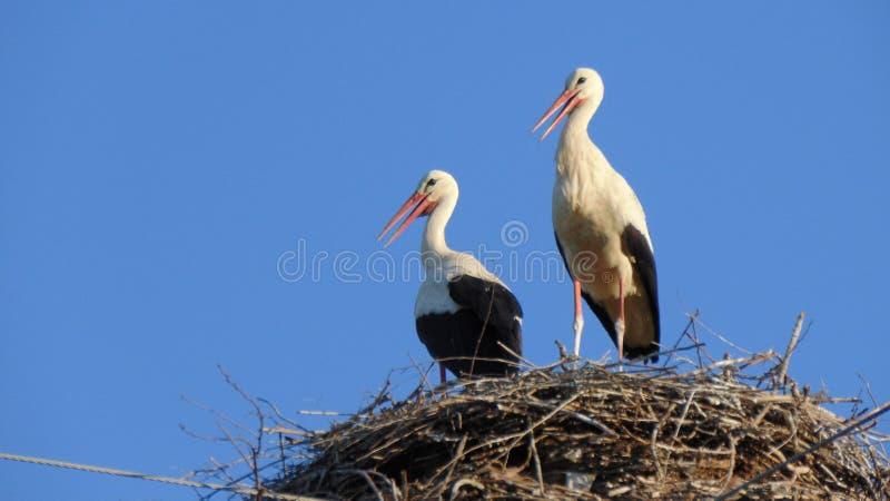 White Stork, Bird, Stork, Beak stock photo