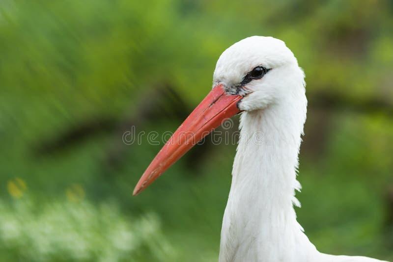 White Stork, Bird, Stork, Beak royalty free stock photos