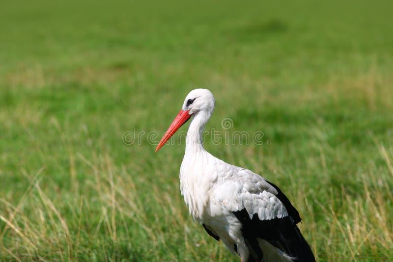 White stork bird stock photos