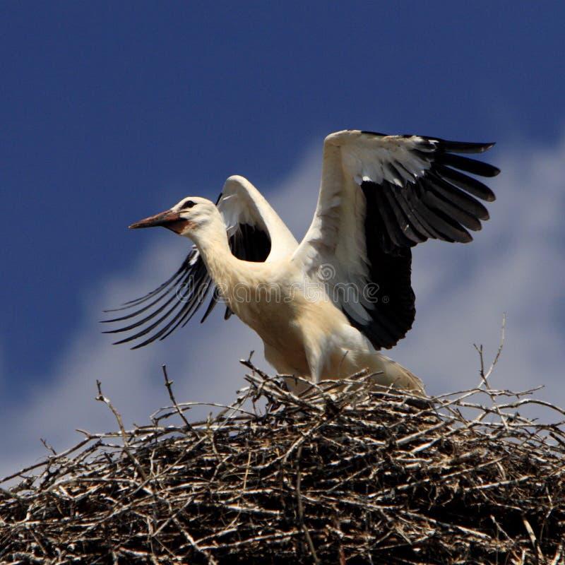 White Stork birds on a nest during the spring nesting season stock images