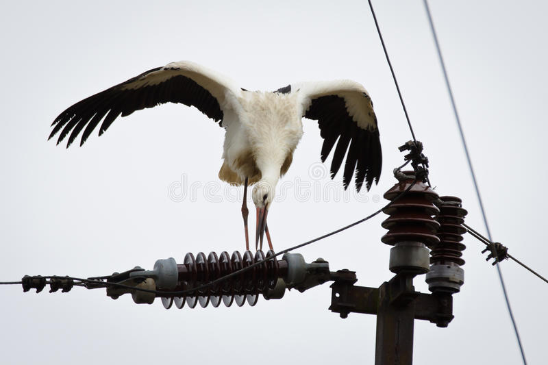 White stork bite electricity line royalty free stock photography