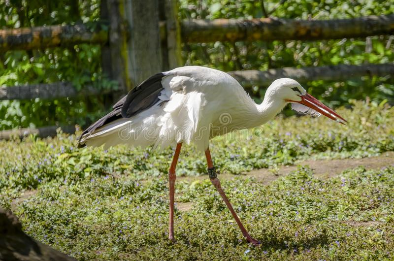 A white stork carrying a quill in the beak. royalty free stock photography