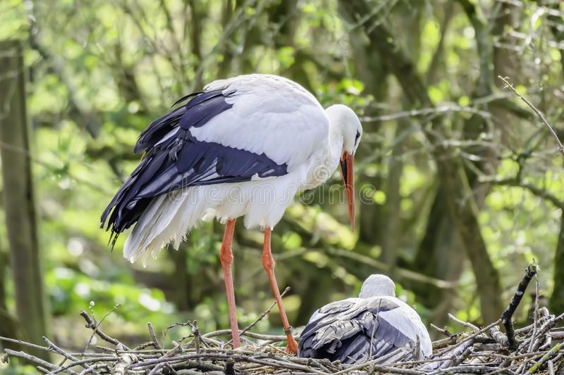 Stork with chick in nest. White stork with chick in nest.Beautiful, large wadding bird with long red beak and legs nesting in natural habitat.Blurred woodland in stock image