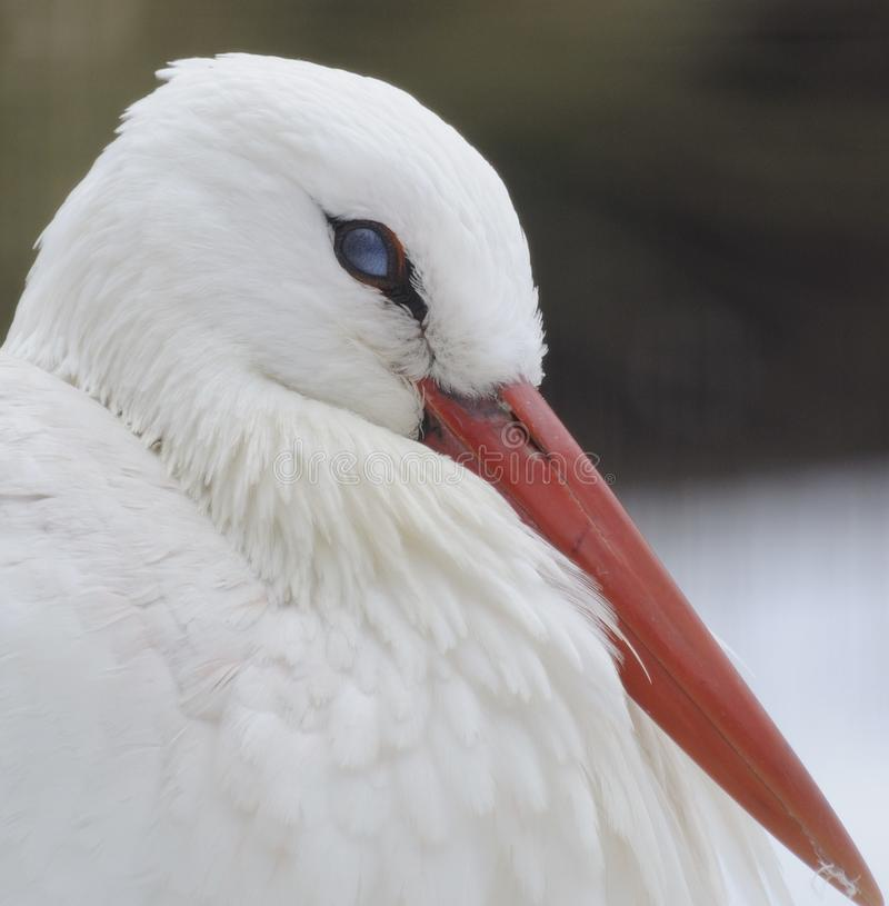 White Stork ( Ciconia ciconia ) royalty free stock photography