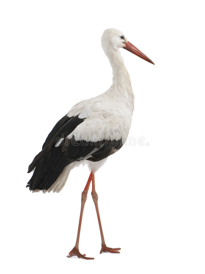 Free White Stork - Ciconia Ciconia (18 Months) Royalty Free Stock Image - 8247236